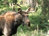 dans-moose2-14a53785f52585c294c2f152eedab3b4049316dd